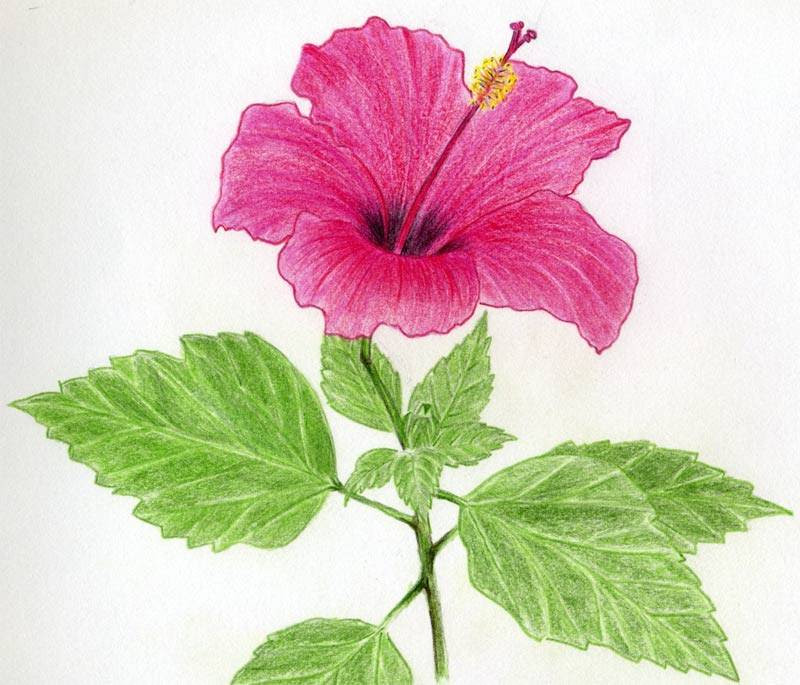Flower Flowers Drawing Colour
