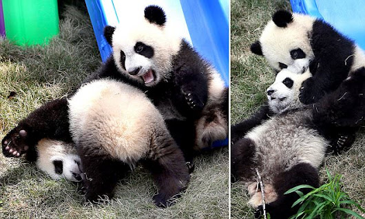 The world's a playground for adorable baby panda twins