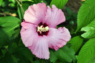 Rose Of Sharon Alcom
