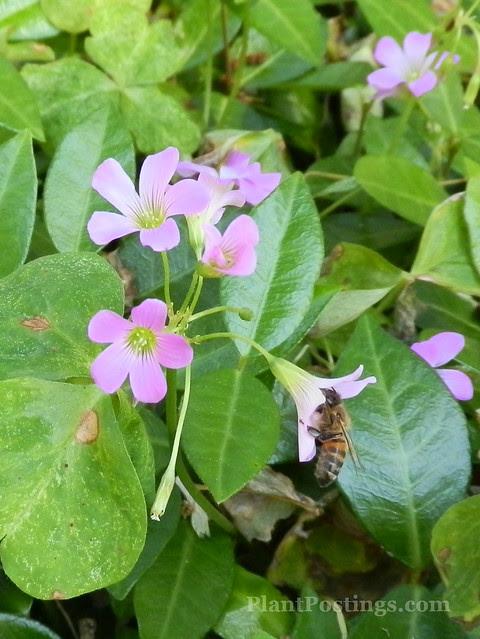 oxalisbee