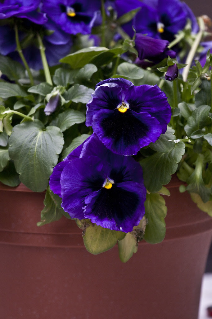 mothers day pansies