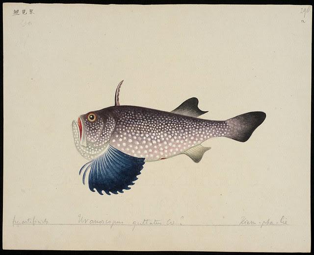 Uranoscopus guttatus Cuv[qstnmrk] [Uranoscopus guttatus Cuvier in C&V, 1829] fig. artificialis