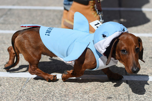 15 Pictures Of Wiener Dogs In Costumes Having The Time Of Their Lives