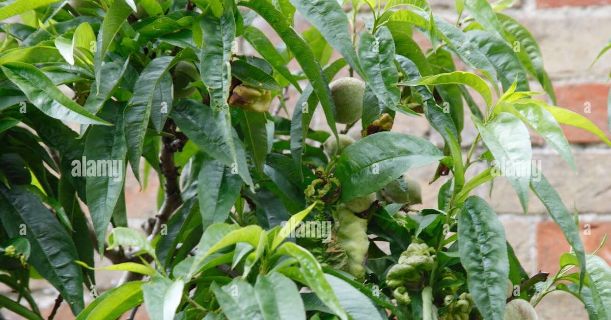 Peach Tree Leaf - Hott Stage