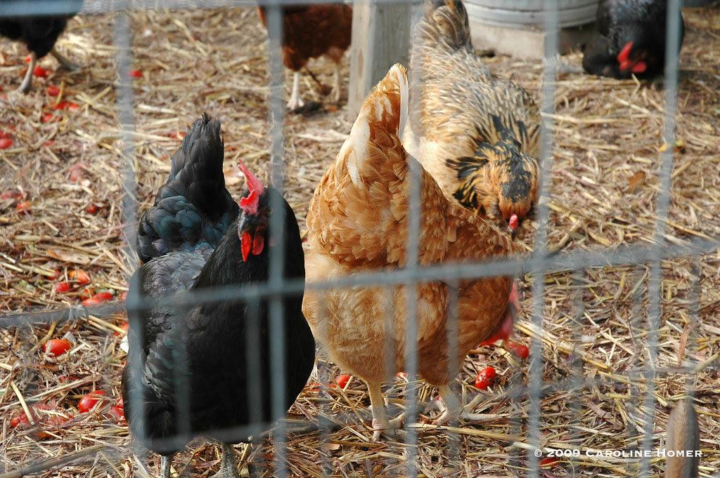Happy hens