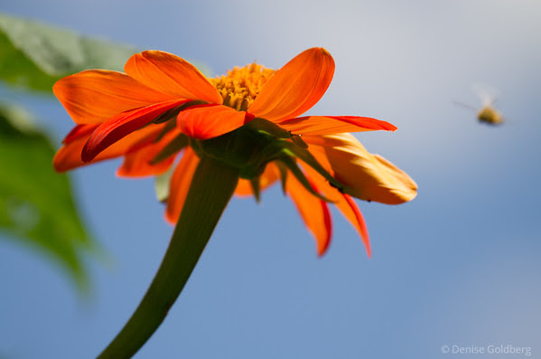 orange flower against a bright blue sky, bee approaching