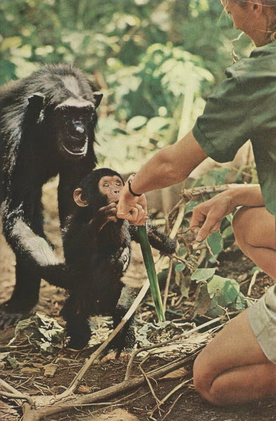Little Flint introduces himself, but Mother Flo keeps a protective hold around his waist. Jane Goodall extends the back of her hand, fingers turned away, telling Flo that she intends no harm National Geographic | December 1965