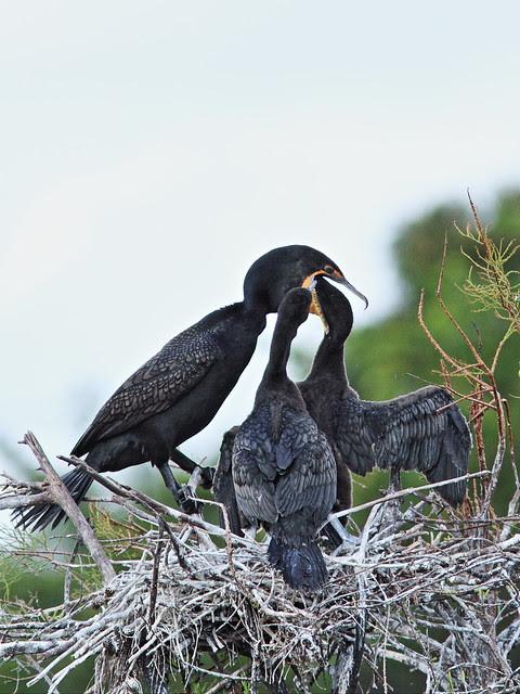 Double-crested Cormorant feeding chicks 07-20131210