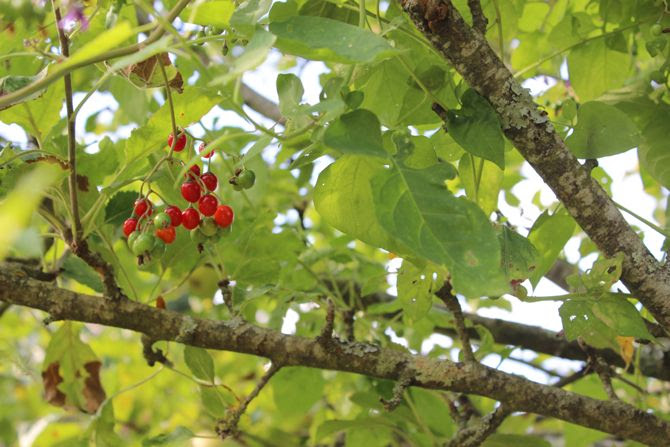 photo 31-bretagne jardin fruits prune poire pomme_zpsy7ky55le.jpg