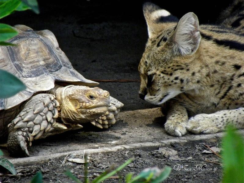 сервал и черепаха. фото