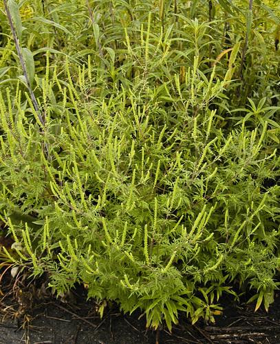 Ambrosia artemisiifolia elatior COMMON RAGWEED