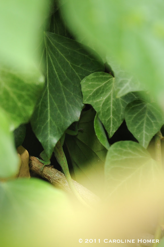 Anole hiding in ivy