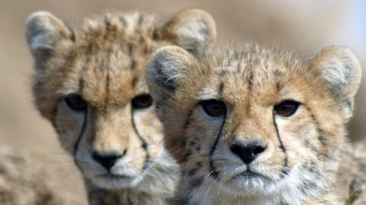 Cheetahs heading towards extinction as population crashes - BBC News