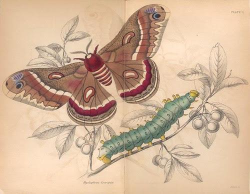 Hyalophora Cecropia.  (1843)