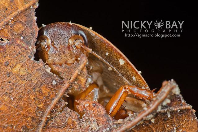 Cockroach (Blattodea) - DSC_9870