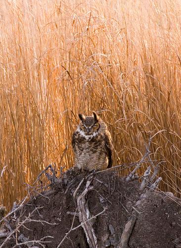 Owl (great horned?)