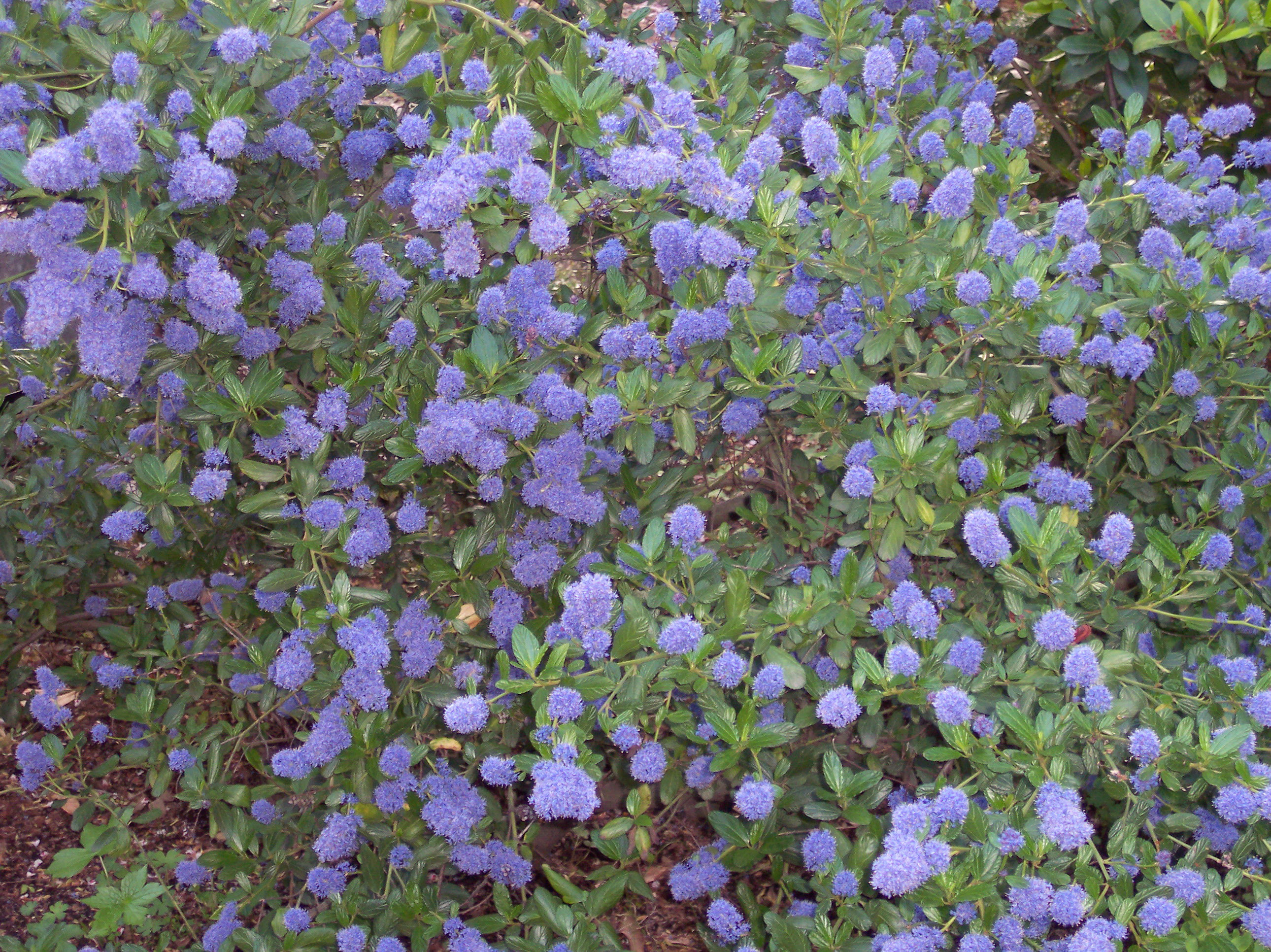 http://upload.wikimedia.org/wikipedia/commons/6/69/Ceanothus_thyrsiflorus.jpg
