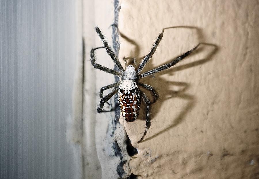 spiderback