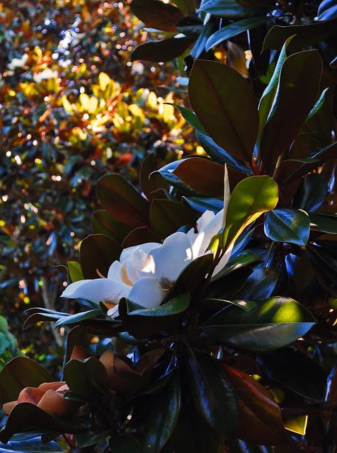 Eyre Hall (Magnolia grandiflora)