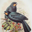 Sounds of Extinct Birds « Earbirding.com