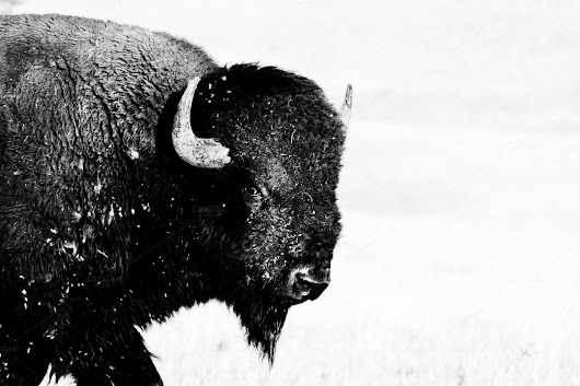 Staredown from Large Buffalo Bison ~ Photos on Creative Market