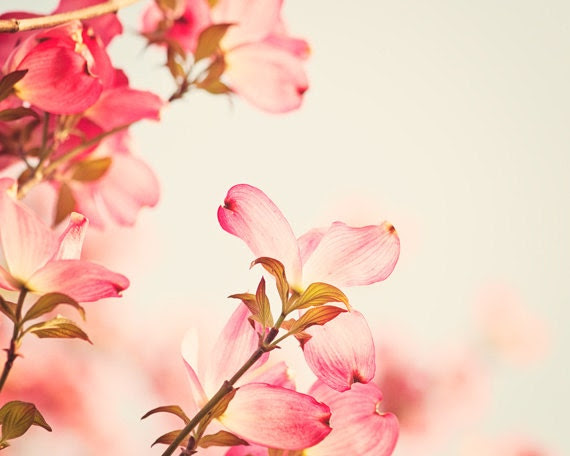 Flower Photography - dogwood pink spring wall art floral photo coral salmon nature cream blossoms fine art photography - 8x10 Photograph