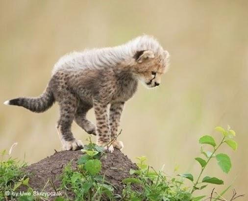 Weekend picture ...  #beautiful #cheetah #baby in the #MasaiMara . See here the cheetah gallery
