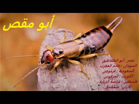 تعرف علي حشرة أبو مقص أبوجلم أبو قرموص  The insect of Abu Maqas Abu Jalam or Abu Qarmus