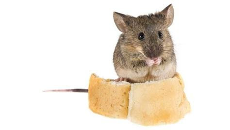 How to get rid of mice without poisons or traps   MNN   Mother Nature Network