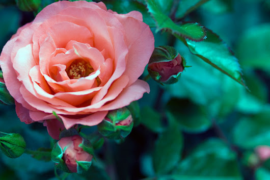 Your Complete Guide to Fall Rose Care