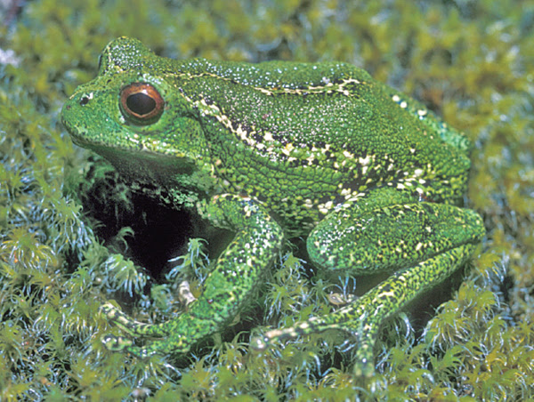 An adult male of the species Gastrotheca dysprosita. Photo by W. E. Duellman.