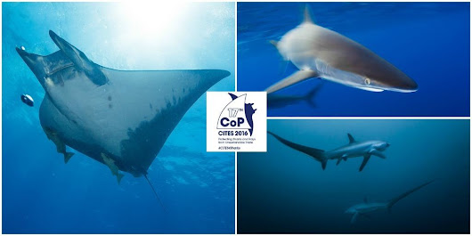 Conservationists Cheer Progress on Sharks & Rays at CITES CoP