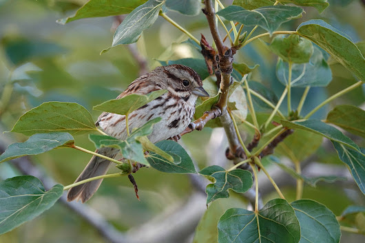 Song Sparrow shot….with Sony RX10M3