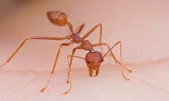 OUCH!!!!!!!!!!!!!!weaver ant IMG_3327 copy