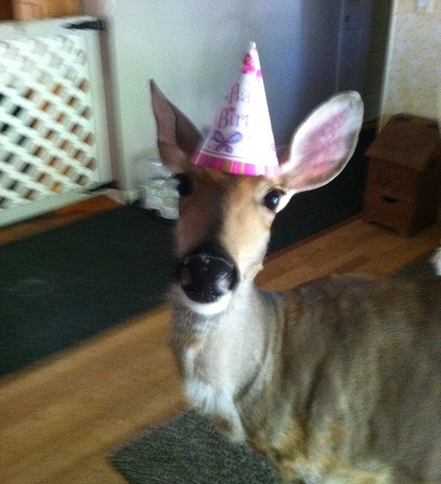 Birthday girl: Like any house pet, Lilly celebrates her birthday every year - complete with festive hats
