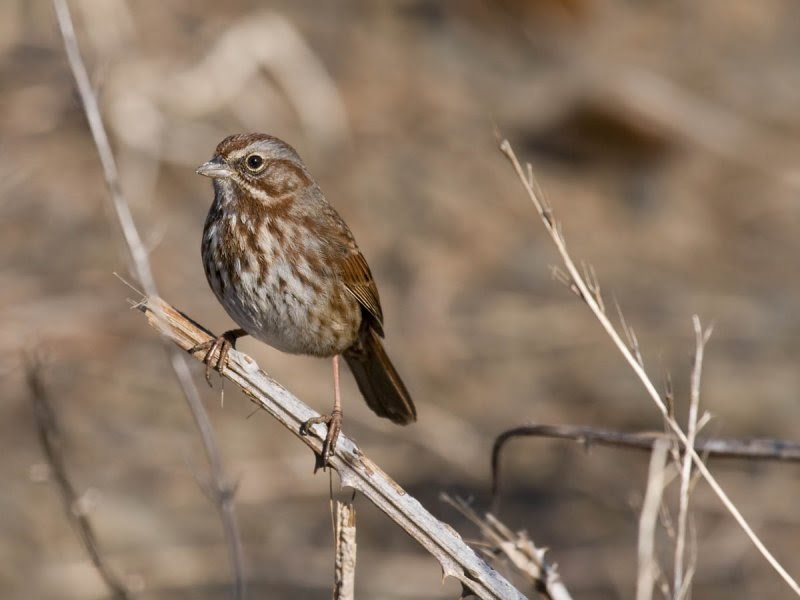 In the backyard... Song Sparrow - Pacific NW Birder