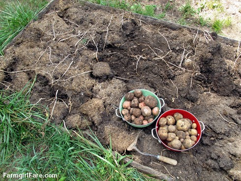 (19-10) Digging up Yukon Gold and red potatoes planted in early March - FarmgirlFare.com