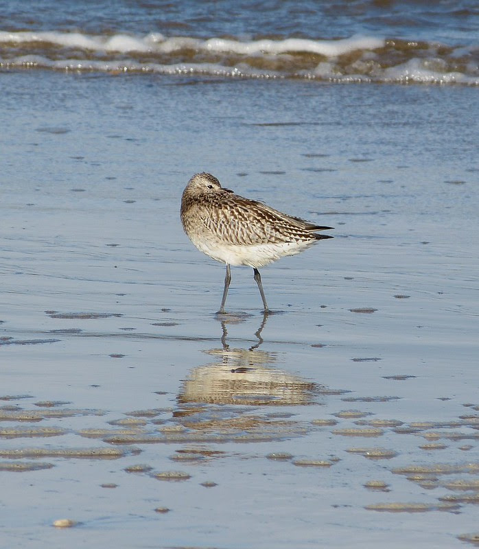 28983 - Bar Tailed Godwit, RSPB Titchwell