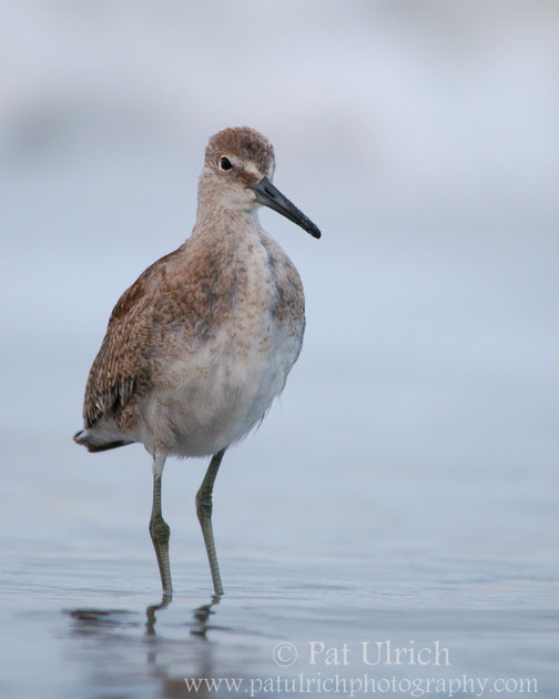 Photograph of a friendly willet in Point Reyes National Seashore