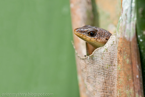 skink in its cosy little home IMG_9713 copy