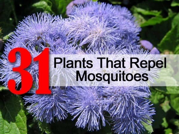 Born And Raised In The South 31 Plants That Repel Mosquitoes