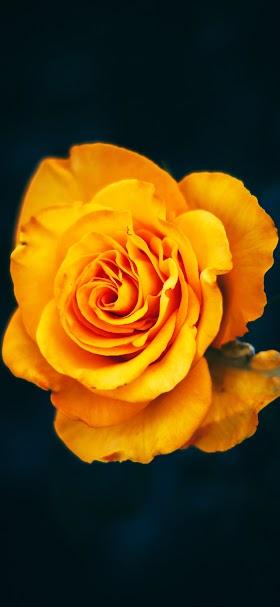 Beautiful yellow rose wallpaper