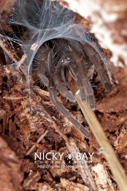 Tarantula (Phlogiellus sp.) - DSC_9766