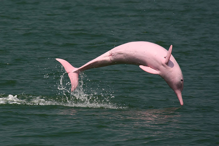 Pink dolphin blindness, animal world, creatures of our planet, facts