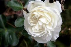 white november rose