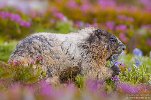 Hoary Marmot Feeding on Lupine, Mount Rainier National Park, Washington