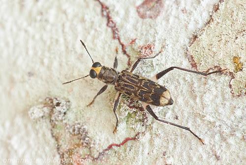 Fungus beetles (Anthribidae) IMG_9517 stk copy