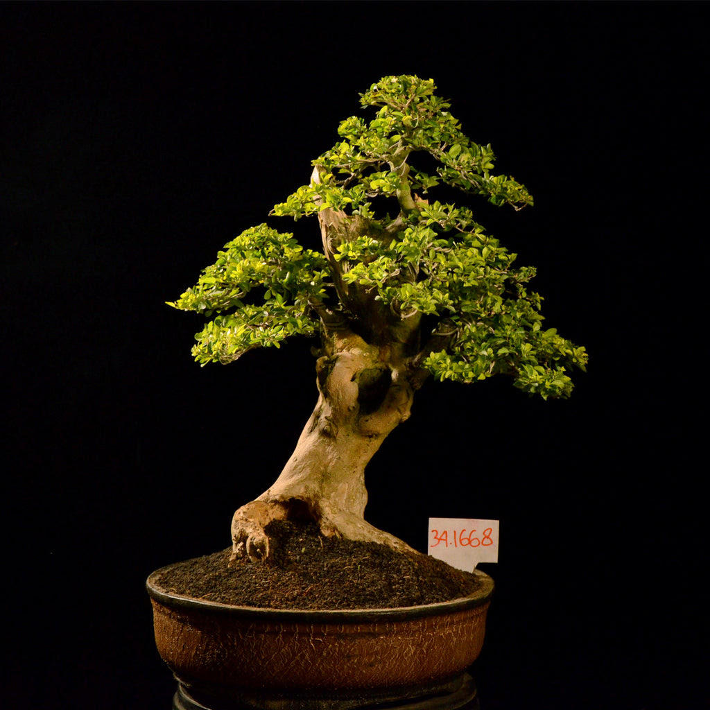 Duranta Bonsai Tree Bonsai Tree
