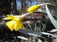 daffodils by Teckelcar