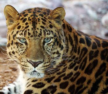Spots Of A Leopard